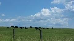 MO cows