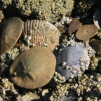 Hunting for Sand Dollars on Bainbridge Island, WA