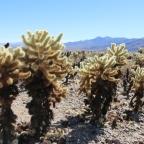 Cholla Cactus Garden: Joshua Tree National Park