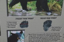 Black bear prints